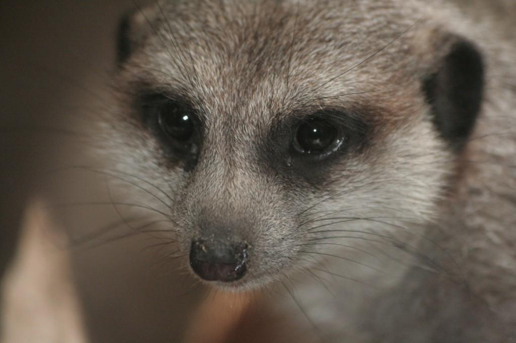 meerkat-small